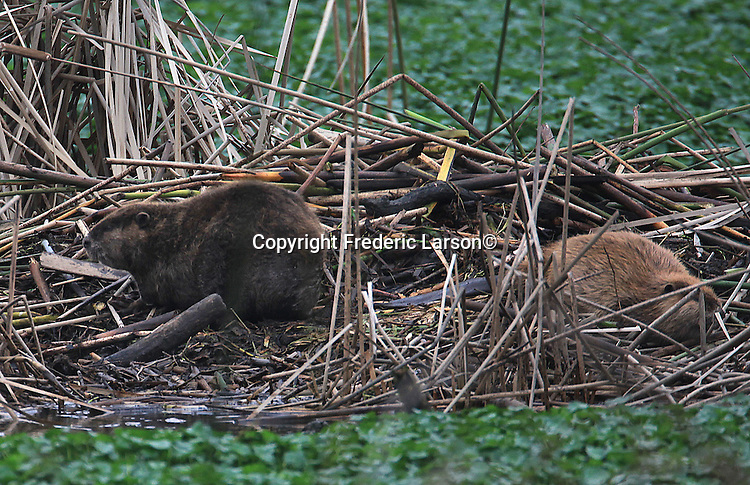 Couple of beavers were cited constructing a damn on the Delta during birding cruise out of Antioch, California.