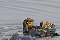 Sea Otter (Enhydra lutris) mom sliding pup off her chest an into the water so she can groom or dive for food.