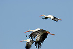 White Storks in flight, Andalucia, Spain.