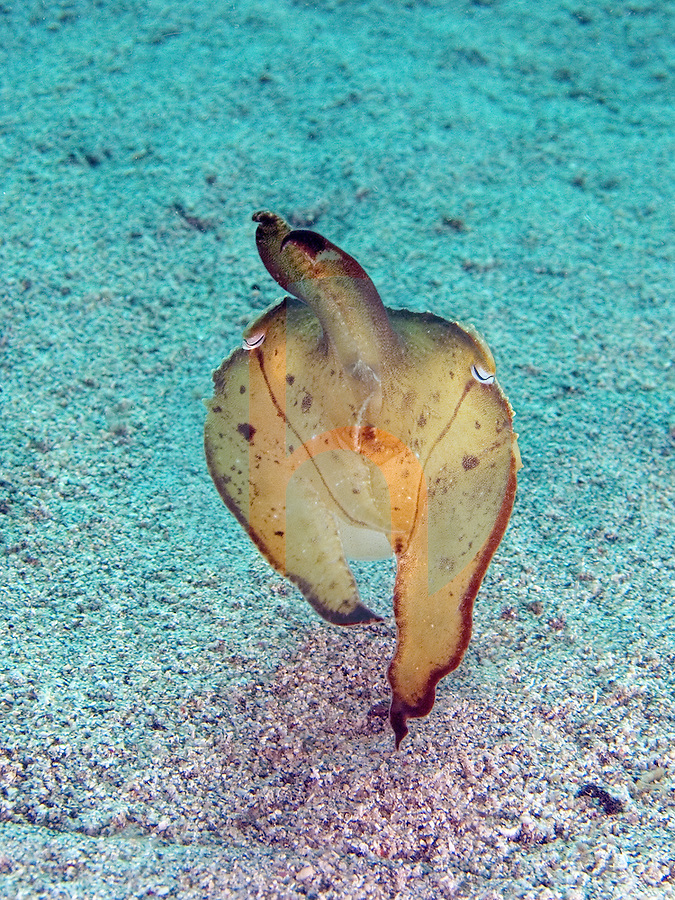 """January 8th 2005-Manatuto, East Timor- A Reef cuttlefish (Sepia latimanus) changes shape and color in an effort to confuse predators while exposed on the open sandy bottom at a dive sight known as """"K-57""""which is east of Dili near the town of Manatuto.  .Photograph by Daniel J. Groshong/Tayo Photo Group"""