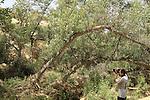 Israel, Negev, Euphrates Poplar trees in Ein Shaviv