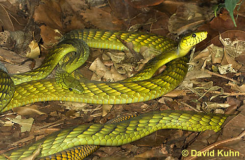 0423-1116  Western Green Mamba (West African Green Mamba), Coiled on Forest Floor, Dendroaspis viridis  © David Kuhn/Dwight Kuhn Photography