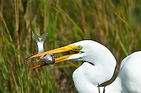 Great Egret, South Padre Island, Texas