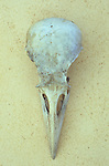 Close up of skull of Collared dove or Streptopelia decaocto lying on antique paper