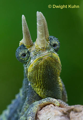 CH35-598z  Male Jackson's Chameleon or Three-horned Chameleon, close-up of face, eyes and three horns, Chamaeleo jacksonii