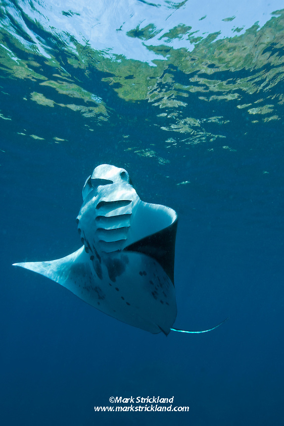 A Giant Manta, Manta birostris, performs a barrel roll while feeding on plankton just below the surface. Narcondam Island, Andaman Islands, India, Andaman Sea