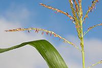 Mais, männliche Blüten, Blütenstand, Ähre, Mais-Anbau, auf Feld, Acker, Zea mays, Maize, Corn