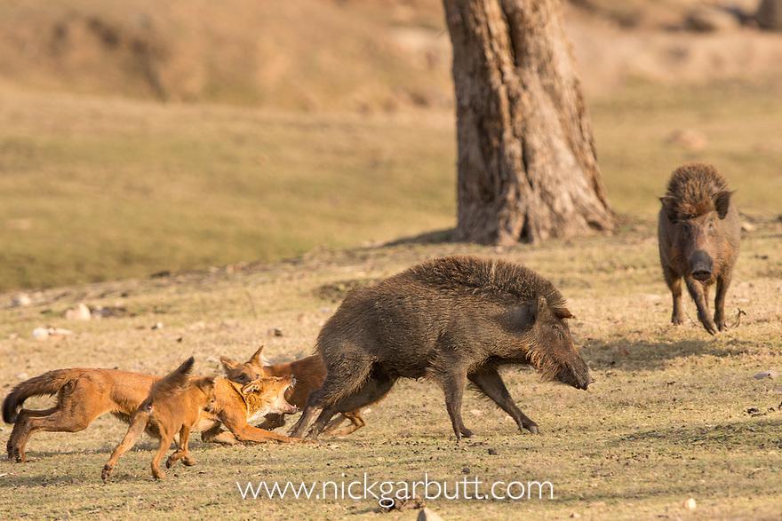 Dogs Hunting Wild Boar Videos