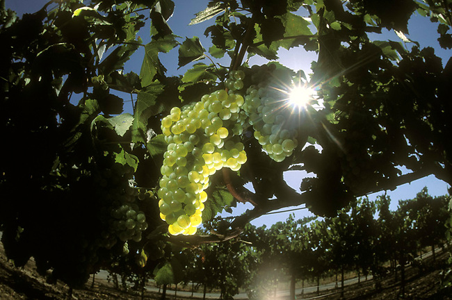 Chardonnay grapes on vine in St. Helena