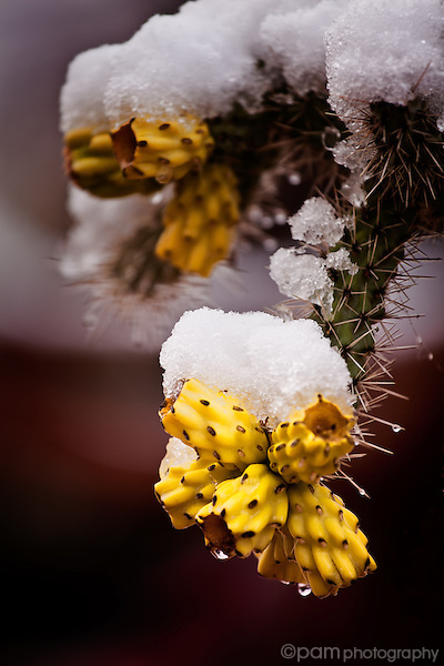 Desert cholla with snow