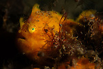 Painted frogfish, Antennarius pictus, Twilight Zone, Laha, Ambon harbour, Banda Sea, Moluccus, Indonesia, Pacific Ocean
