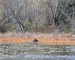 Beaver Dam seen in the Esopus Bend Nature Preserve in Saugerties, NY, on Thursday, November 10, 2016. Photo by Jim Peppler; Copyright Jim Peppler 2016.