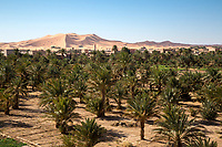 Merzouga, Morocco.  Date Palms in Foreground, Sand Dunes in Rear.