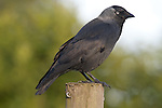 Jackdaw, Corvus monedula, Leeds Castle Grounds, KENT UK, perched on post, small, black crow with a distinctive silvery sheen to the back of its head and pale eyes