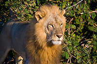 African Lion, South Luangwa NP, Zambia