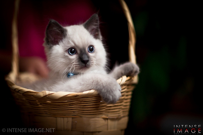 Cat, kitten, ragdoll, rag doll, rag-doll,