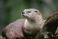 35-M03-OTR-03    NORTH AMERICAN RIVER OTTER (Lutra canadensis), western Washington,  USA.
