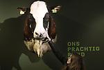 Foto: VidiPhoto<br /> <br /> BARNEVELD &ndash; Terwijl de eerste gasten dinsdag het vernieuwde Pluimveemuseum in Barneveld bezoeken, zetten vrijwilligers nog even de laatste puntjes op de i. Voor het eerst sinds het bestaan van het internationaal bekende kippenmuseum op de Veluwe zijn er nu ook andere dieren te zien. Om te beginnen koeien, waaronder de wereldberoemde opgezette stier Sunny Boy, met 2 miljoen doses sperma de meest gebruikte stier ter wereld. Of Kian, de meeste gebruikte roodbonte stier ter wereld (1,4 miljoen doses). Later volgen de andere boerderijdieren, afkomstig van het vorige maand opgeheven Veeteeltmuseum in het Brabantse Beers. Voorlopig is nog maar een klein deel het Veeteeltmuseum te zien in de tentoonstellingsruimte van het Pluimveemuseum. De rest staat opgeslagen in vrachtwagens en volgt zodra de Barneveldse fusiepartner geld en vergunning heeft om uit te breiden. De kosten van de verbouwing worden geraamd op 1,4 miljoen euro. De nieuwe naam wordt vermoedelijk Pluimvee en Veeteelt Museum, maar daar moet door besturen en vrijwilligers nog even over gestoeid worden.