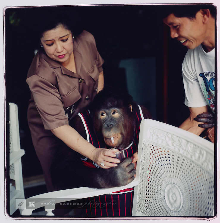 JULY 2000  --  JAKARTA, INDONESIA. Julie an orangutan smokes a Marlboro and drinks a Coca-Cola she has an impressive collection of sports jersey's and also likes fruit popsicles..