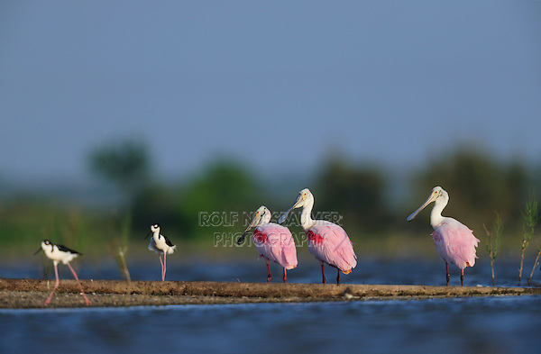 Roseate Spoonbill (Ajaia ajaja), group in wetland with Black-necked Stilt (Himantopus mexicanus), Dinero, Lake Corpus Christi, South Texas, USA
