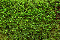 ORCAN_D228 - USA, Oregon, Cascade Range, Wildwood Recreation Site, Close up view of  dense moss clinging to branch of bigleaf maple.