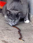 """""""Simba"""" the barn cat at Babylon Riding Center in Babylon plays with a snake it has caught on Thursday April 13, 2006. (Newsday Photo / Jim Peppler)."""