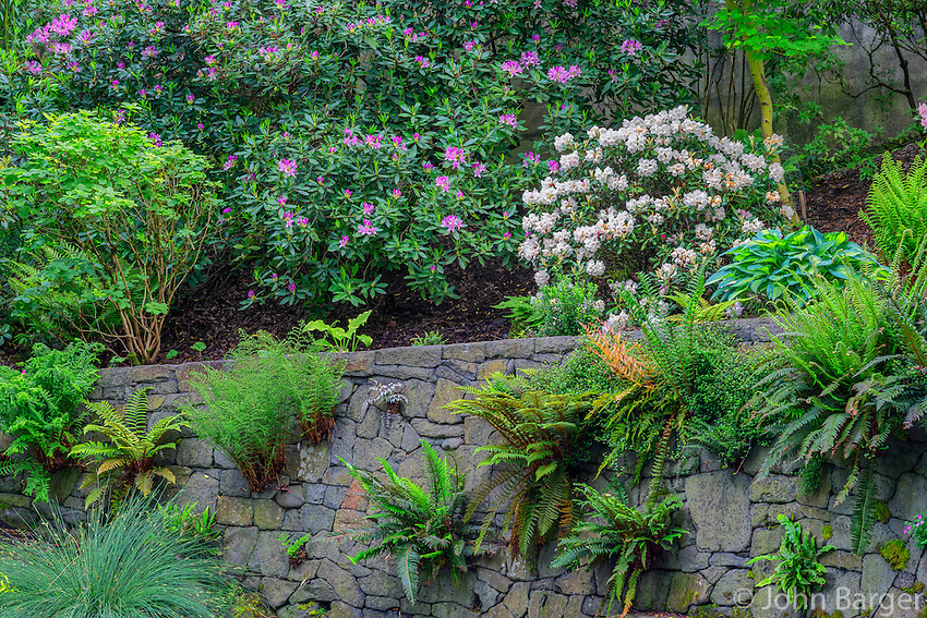ORPTC_D162 - USA, Oregon, Portland, Crystal Springs Rhododendron Garden, Variety of ferns growing on man-made vertical rock wall beneath flowering rhododendrons.