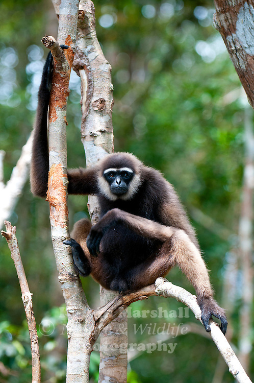 The Bornean Gibbon (Hylobates muelleri) is one of two species of gibbon inhabiting the island of Borneo, the other being the Agile Gibbon Hylobates agilis. The species is endemic to Borneo, and is confined to tall primary rainforest in lowland and lower montane areas.