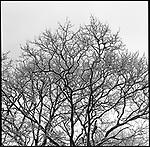 Snowed trees<br /> <br /> Arbres neigeux