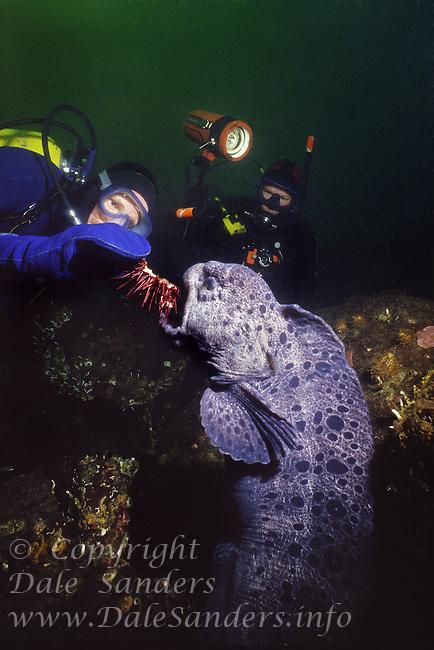 Scuba diver feeding a Sea Urchine to a male Wolf-Eel (Anarrhichthys ocellatus) in Saanich Inlet near Victoria, British columbia Canada.