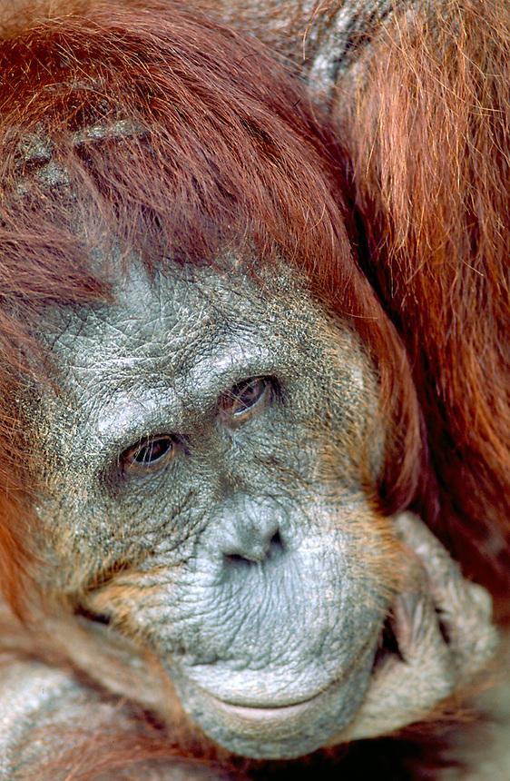 Orangutan, pongo pigmaeus - Portrait of an old male in the rainforest, orangutans. South-Central Kalimantan Borneo Indonesia Rainforest.