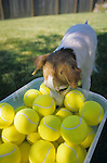 Jack Russell Terrier and Tennis Balls