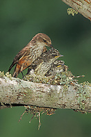 Vermillion Flycatcher, Pyrocephalus rubinus,female in nest with young, Lake Corpus Christi, Texas, USA