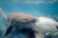 nurse sharks, Ginglymostoma cirratum, male grasping female prior to mating, Florida Keys, Florida, Atlantic Ocean