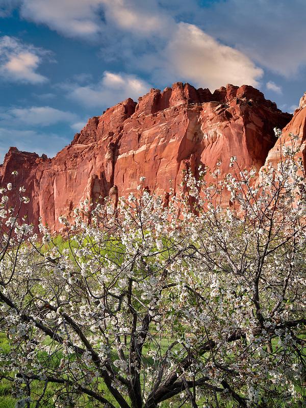 Apple blossoms and cliffs. Fruita, Capitol Reef National Park,. Utah