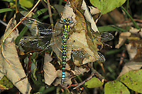 Blaugrüne Mosaikjungfer, Blaugrüne-Mosaikjungfer, Aeshna cyanea, Aeschna cyanea, blue-green darner, southern aeshna, southern hawker