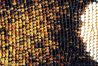 MO05-004a  Monarch Butterfly - close-up of scales on wing - Danaus plexippus