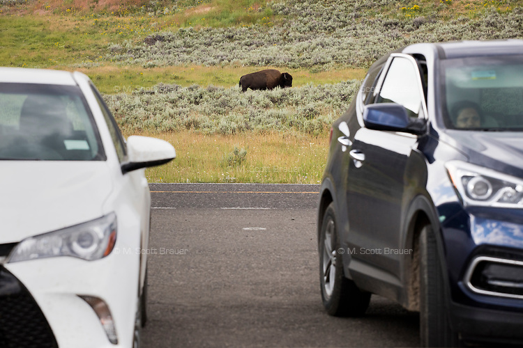 An adult bison stands near a parking area in the Lamar Valley, Yellowstone National Park, Wyoming, USA. Bison number about 5,500 in Yellowstone as of August 2016, according to the National Park Service. They are descended from a small group of 23 individuals that survived mass killings of bison in the 1800s.