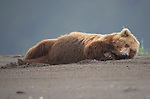 A brown bear lies down and relaxes on a beach.  The large female collapsed onto her back before rolling over and taking a nap.<br /> <br /> The photographs were taken in the huge four million acre expanse of Lake Clark National Park in Alaska, USA.  SEE OUR COPY FOR DETAILS.<br /> <br /> Please byline: Ken Conger/Solent News<br /> <br /> © Ken Conger/Solent News & Photo Agency<br /> UK +44 (0) 2380 458800