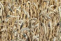 Germany, wheat field | Deutschland, Weizenfeld
