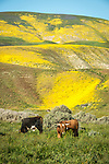 Cattle graze below the golden wildflower covering the Temblor Range during spring, California Valley, Calif.