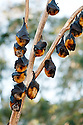 Colony of Grey-headed Flying-foxes (Pteropus poliocephalus), Blackbutt Nature Reserve. Newcastle, New South Wales