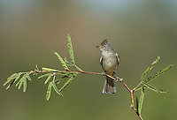 584750001 a wild northern beardless tyrannulet camptostoma imberbe perches on a mesquite branch in the madera grasslands green valley arizona united states
