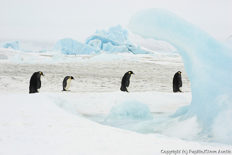 Emperor penguin, Aptenodytes forsteri, adults walking on fast ice, Snow Hill Island, Erebus and Terror Gulf, Antarctic Peninsula, Antarctica, four, line