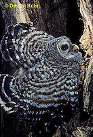 OW01-104z  Barred owl - young in nest cavity - Strix varia