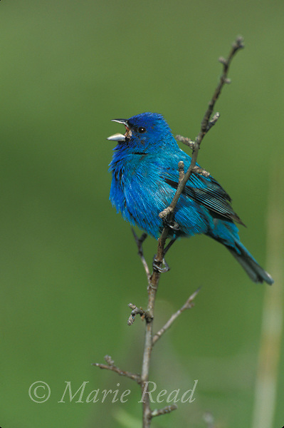Indigo Bunting (Passerina cyanea) male singing in spring, Ithaca NY, USA<br /> Slide # B167-1104