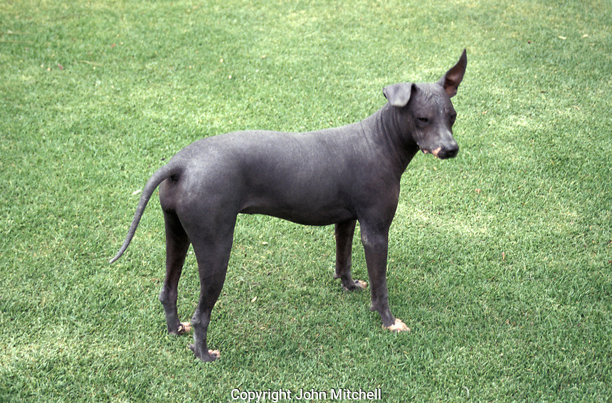 A xoloitzcuintle dog on the grounds of the the Museo Dolores Olmedo Patino in Mexico City. These hairless canines were raised for food by the ancient aztecs.The Dolores Olmedo museum, the former home of art patron Dolores Olmedo Patino, houses important works by Diego Rivera and Frida Kahlo.