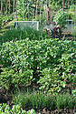 An allotment plot planted with potatoes and young leek plants, early June.