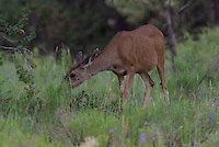 Mule Deer(Obocoileus hemionus) Dow feeds in southern Utah's  Dixie National Forest on a rummer afternoon.