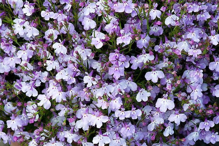 Lobelia Erinus Lsquoregatta Lilacrsquo Alan Buckingham